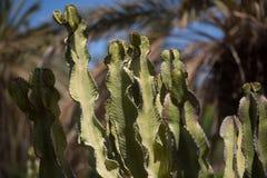 Kaktus, Vegetation, auf Fuerteventura Stockbild