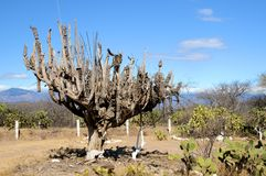 kaktus vissnade mexico Arkivbilder