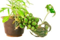 Kaktus w brown garnku Fotografia Royalty Free