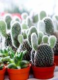 Kaktus w flowerpot Fotografia Royalty Free