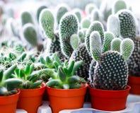Kaktus w flowerpot Zdjęcie Stock