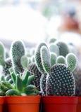 Kaktus w flowerpot Obrazy Royalty Free