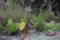Kaktus w fortu De Soto parku, Floryda K?uj?cej bonkrety kaktus przy fortu Desoto parka St Petersburg, usa obraz royalty free