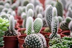 Kaktus w garnkach Zdjęcia Royalty Free