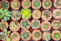 Kaktus w garnkach Obraz Royalty Free