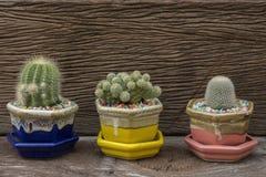 Kaktus w garnkach na drewnianym tle obraz royalty free
