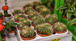 Kaktus w garnkach na supermarket półkach Obrazy Stock
