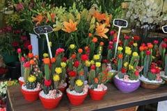 Kaktus w garnkach w kwiatu sklepie Zdjęcie Royalty Free