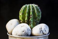 Kaktus w garnku na czarnym tle Zdjęcie Royalty Free
