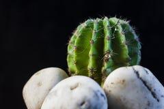 Kaktus w garnku na czarnym tle Zdjęcie Stock