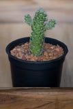 Kaktus w garnku na drewnianym pudełku Fotografia Royalty Free