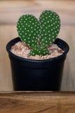 Kaktus w garnku na drewnianym pudełku Zdjęcie Royalty Free