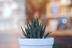 Kaktus w garnku z zamazanym tłem fotografia stock