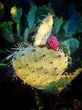 Kaktus w kwiacie Obraz Royalty Free