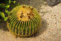 Kaktus w Loro Parque Fotografia Royalty Free