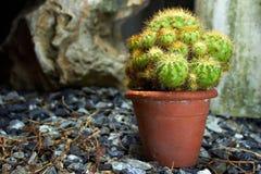 Kaktus w małym ogródzie Zdjęcie Royalty Free