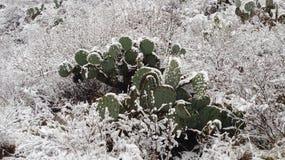 Kaktus w śniegu Fotografia Stock