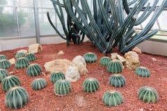 Kaktus w ogródzie Zdjęcia Royalty Free