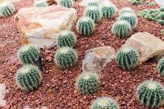 Kaktus w ogródzie Obraz Stock