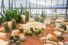 Kaktus w ogródzie Obraz Royalty Free