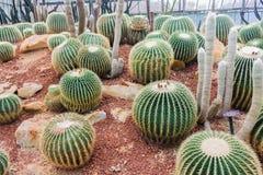 Kaktus w ogródzie Fotografia Royalty Free
