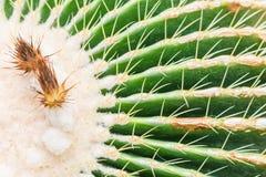 Kaktus w ogródzie Obrazy Stock