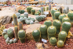 Kaktus w ogródzie Obrazy Royalty Free