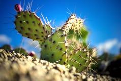 Kaktus w ogródzie botanicznym zdjęcia stock