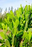 Kaktus w ogr?dzie zdjęcie stock