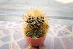 Kaktus w plastikowym garnku Obrazy Royalty Free