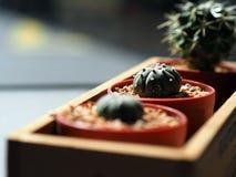 Kaktus w plastikowym garnku Zdjęcia Stock