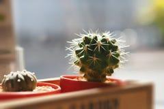 Kaktus w plastikowym garnku Zdjęcie Stock