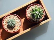 Kaktus w plastikowym garnku Fotografia Stock