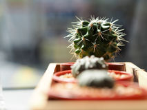 Kaktus w plastikowym garnku Obraz Stock