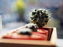 Kaktus w plastikowym garnku Zdjęcia Royalty Free