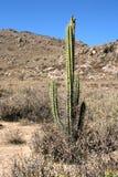 Kaktus w pustynnej górze zdjęcia stock