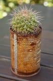 Kaktus w puszce - Cactaceae Obrazy Stock