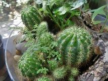 Kaktus w szklanym pucharze Zdjęcia Royalty Free