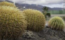 Kaktus w Tenerife Zdjęcia Royalty Free