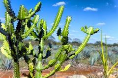 Kaktus w Valladolid, Meksyk Zdjęcia Stock