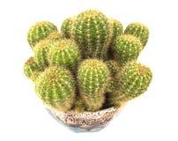 Kaktus w wazie odizolowywającej na bielu Obraz Stock