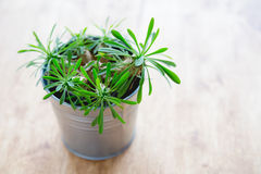 Kaktus w wazowym wystroju Obrazy Stock