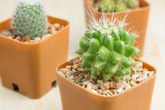 3 kaktus w wazowym wystroju Zdjęcie Stock
