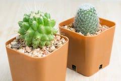 2 kaktus w wazowym wystroju Zdjęcia Stock