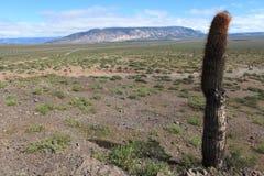 Kaktus-Wald Lizenzfreie Stockbilder