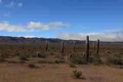 Kaktus-Wald Stockfotografie