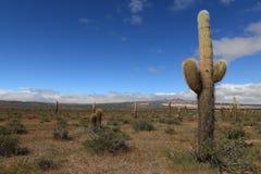 Kaktus-Wald Stockbilder