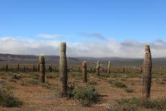 Kaktus-Wald Stockfoto