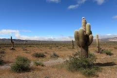 Kaktus-Wald Lizenzfreies Stockfoto