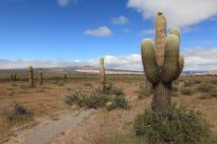 Kaktus-Wald Lizenzfreie Stockfotos